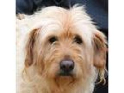 Adopt Starlight a White Wheaten Terrier / Poodle (Standard) / Mixed dog in