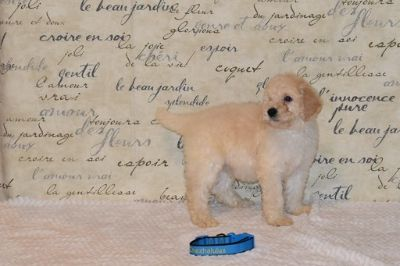 Goldendoodle-Poodle (Standard) Mix PUPPY FOR SALE ADN-104217 - Meet Constantino F1bb Goldendoodle