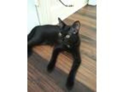 Adopt Mimi a All Black Domestic Shorthair / Mixed cat in Galveston