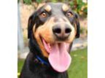 Adopt WoofMan Sammy a German Shepherd Dog, Doberman Pinscher