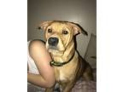Adopt Jack a Tan/Yellow/Fawn Labrador Retriever / Mixed dog in Duncan