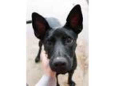 Adopt Glo a Basenji / Shepherd (Unknown Type) / Mixed dog in Memphis