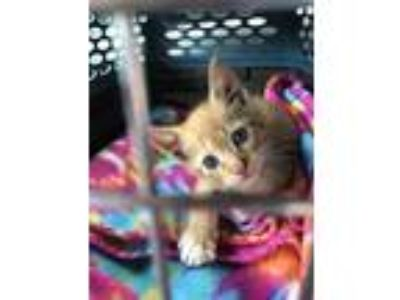 Adopt Felix a Orange or Red (Mostly) Domestic Shorthair (short coat) cat in