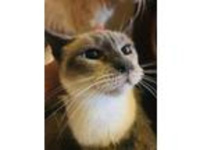 Adopt Sashimi a Spotted Tabby/Leopard Spotted Siamese / Mixed cat in Calimesa