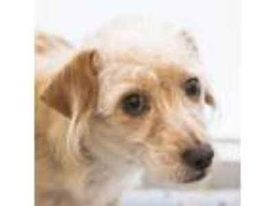 Adopt Bear a Tan/Yellow/Fawn Terrier (Unknown Type, Small) dog in Middletown