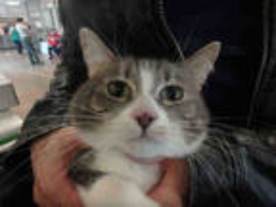 Adopt EMMY a Gray or Blue (Mostly) Domestic Shorthair / Mixed (short coat) cat