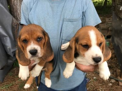 Beagle Harrier PUPPY FOR SALE ADN-89436 - 8 week old beagle pupps