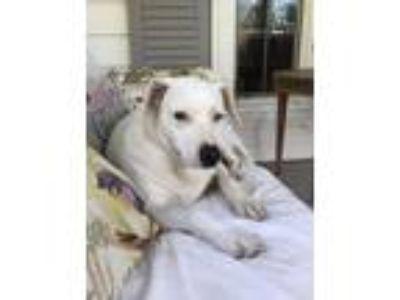 Adopt Jan a White Labrador Retriever / Dalmatian / Mixed dog in Nuevo