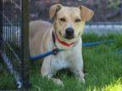 Adopt SUNSHINE a Parson Russell Terrier, Mixed Breed