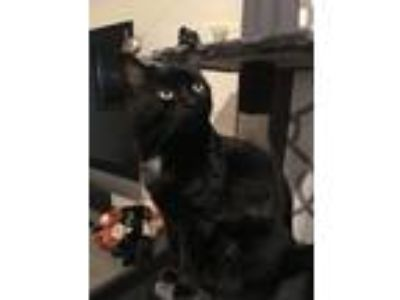 Adopt Zoe and Ezra a Black & White or Tuxedo American Shorthair / Mixed cat in