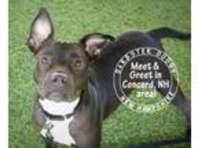 Adopt Dolcetto a Black - with White American Pit Bull Terrier / Rat Terrier /