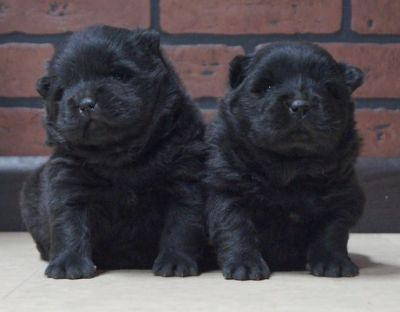 Chow Chow PUPPY FOR SALE ADN-104838 - Beautiful AKC Chow Chow Puppies Ready to go