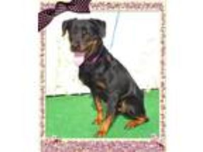 Adopt TAYLOR a Black - with Tan, Yellow or Fawn Rottweiler / Mixed dog in