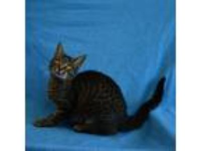 Adopt Rollypolly a Domestic Short Hair