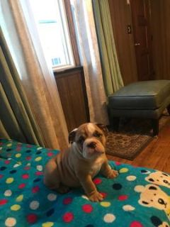 Bulldog PUPPY FOR SALE ADN-87991 - Bacon