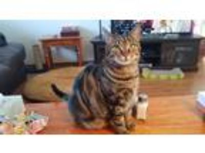 Adopt Clover *foster needed!* a Brown Tabby Domestic Shorthair / Mixed cat in St