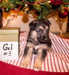 German Shepherd Dog PUPPY FOR SALE ADN-106985 - AKC German Shepherd Puppy