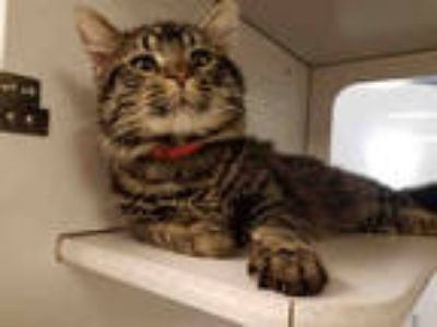 Adopt *HAMILTON a Brown Tabby Maine Coon / Mixed (long coat) cat in Brighton