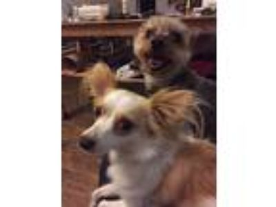Adopt Bones and Lucille (Dallas) a Yorkshire Terrier, Papillon