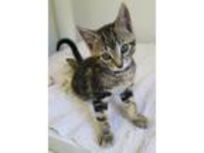 Adopt Billie a Tiger Striped Domestic Shorthair (short coat) cat in Albion