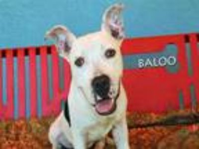Adopt BALOO a Pit Bull Terrier, Mixed Breed