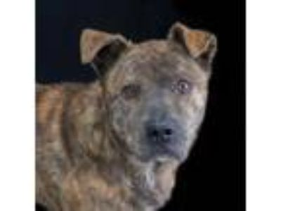 Adopt Butterball a Brindle American Pit Bull Terrier / Mixed dog in Spartanburg