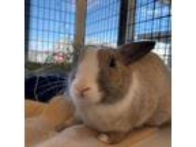Adopt Buster a Other/Unknown / Mixed (short coat) rabbit in Burlingame