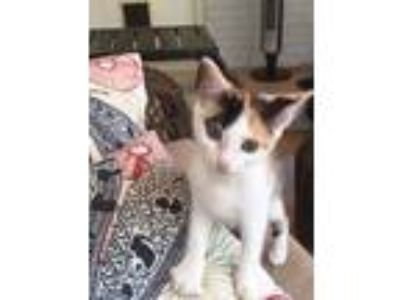 Adopt Ninja a Calico or Dilute Calico Calico (short coat) cat in Wilmington