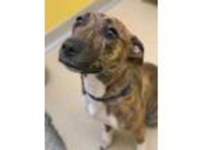 Adopt Wallaby a Brindle Plott Hound / Mixed dog in Rochester, MN (26132521)