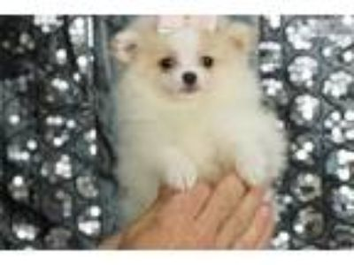 Adorable Pomeranian Puppy Rissa Available! CUTE!