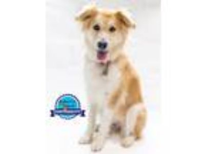 Adopt Jennifer a Collie, Golden Retriever