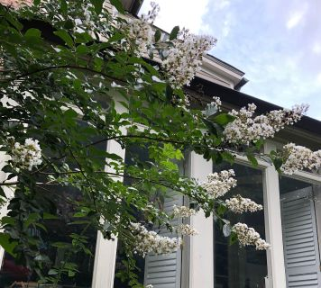 Gorgeous white crepe myrtle! The blooms on these are BEAUTIFUL! Only 8! Will be freshly dug for you!