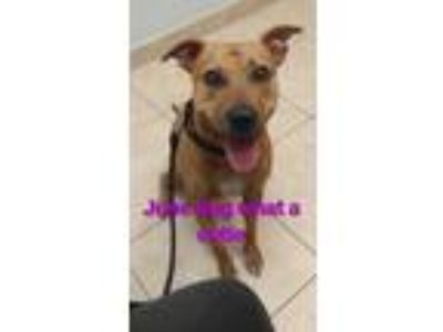 Adopt JUNE BUG a Tan/Yellow/Fawn Black Mouth Cur / Mixed dog in Palm City