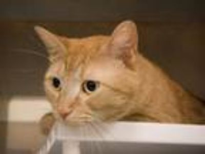 Adopt KAHLIFA a Domestic Short Hair