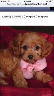 Puppy - Kent Classifieds - Claz org