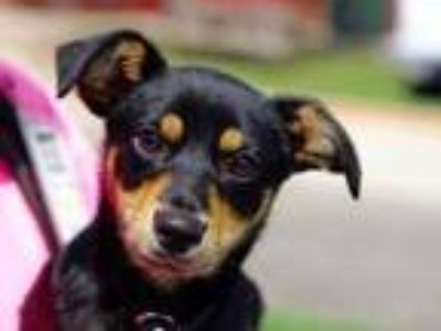 Adopt John a Black Mixed Breed (Small) / Mixed dog in Georgetown, TX (25324116)