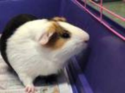 Adopt Reese a Black Guinea Pig / Mixed small animal in Clearwater, FL (25290250)