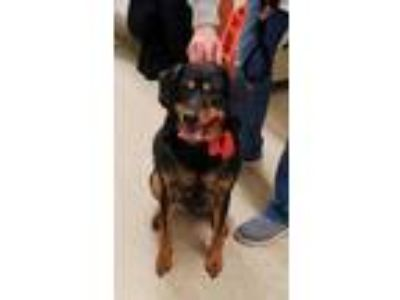 Adopt Raco a Black - with Tan, Yellow or Fawn German Shepherd Dog / Black and