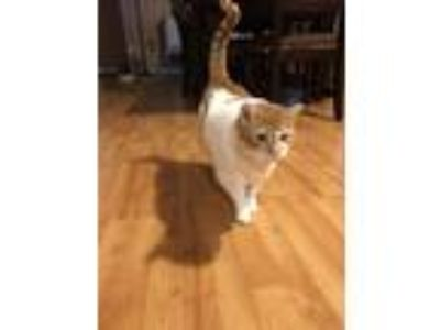 Adopt Buttercup a Orange or Red Tabby Manx / Mixed cat in Hilton, NY (23465608)