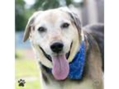 Adopt Victor a Shepherd (Unknown Type) / Hound (Unknown Type) / Mixed dog in