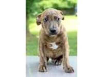 Adopt Matt a Brindle - with White Plott Hound / Pit Bull Terrier / Mixed dog in