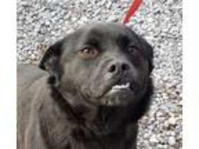 Adopt Amuse *FOSTER NEEDED* a Black Labrador Retriever / Chow Chow / Mixed dog