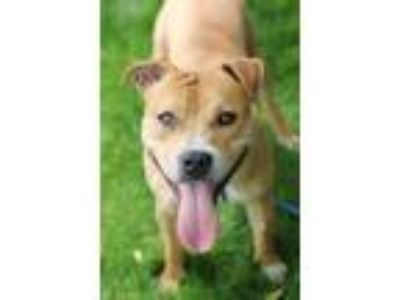 Adopt Hercules a Tan/Yellow/Fawn American Pit Bull Terrier / Mixed dog in Walla