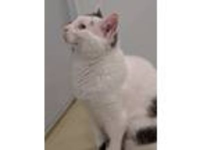 Adopt Philip-Rocco1 a Domestic Mediumhair / Mixed cat in Ledgewood