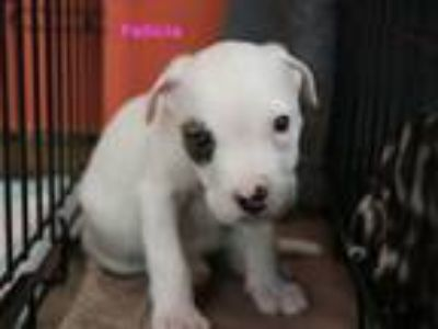 Adopt Felicia a White - with Brown or Chocolate American Pit Bull Terrier /