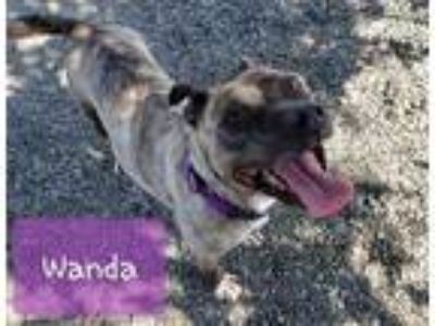 Adopt WANDA a Brindle American Pit Bull Terrier / Mixed dog in Tacoma