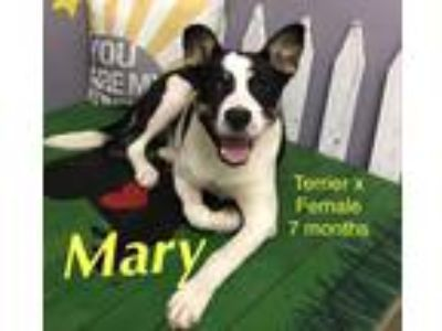 Adopt Mary a Black - with White American Staffordshire Terrier / Labrador
