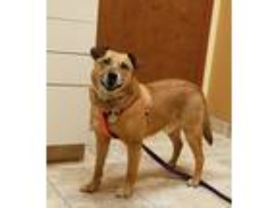 Adopt Henry a Brown/Chocolate - with Tan Shepherd (Unknown Type) / Mixed Breed