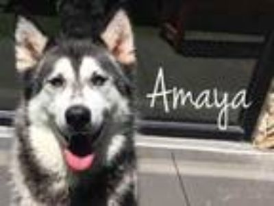 Adopt Amaya a Black Husky / Mixed dog in Lewisville, TX (25539966)