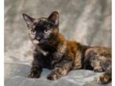 Adopt Kitty a All Black Domestic Mediumhair / Domestic Shorthair / Mixed cat in
